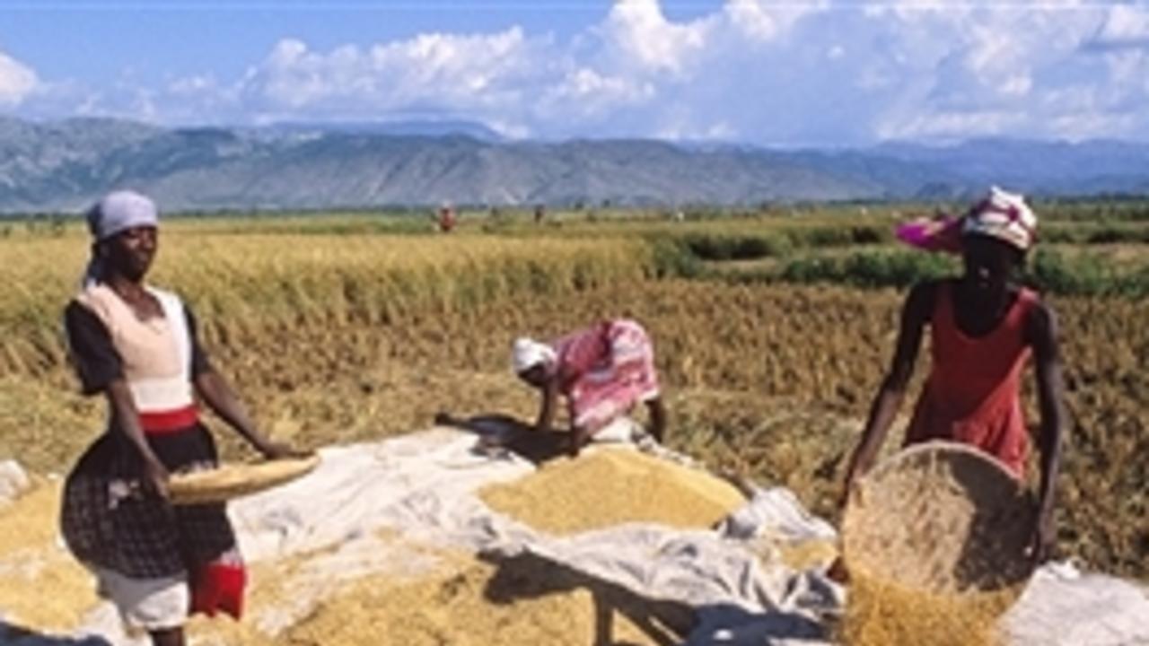 POUR ATTENUER L'IMPACT DE LA COVID-19 : Les petits producteurs agricoles haïtiens reçoivent un soutien à la relance de la production alimentaire