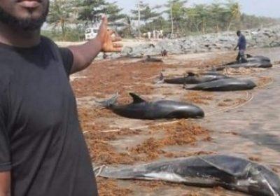 Drame maritime: Des carcasses de tortues et de dauphins échouent sur la grande côte